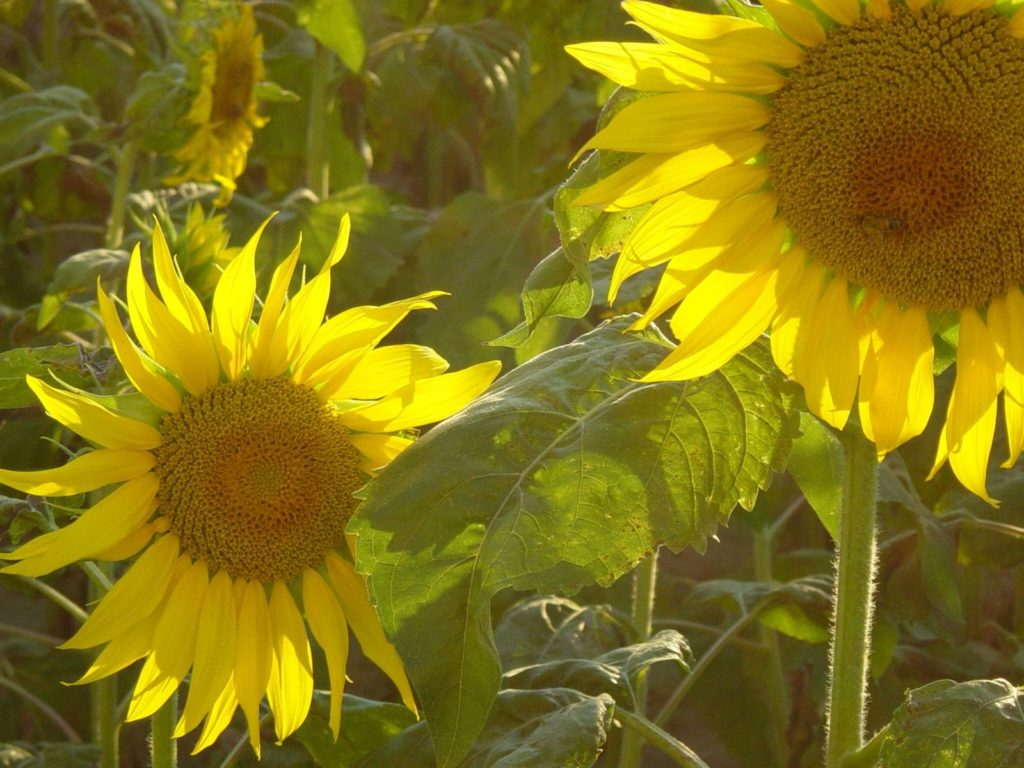 freeimages: sunflowers-1473965